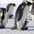 "<!-- AddThis Sharing Buttons above -->                 <div class=""addthis_toolbox addthis_default_style "" addthis:url='http://newstaar.com/emperor-penguin-numbers-higher-than-thought-in-antarctica-based-on-new-satellite-research/355603/'   >                     <a class=""addthis_button_facebook_like"" fb:like:layout=""button_count""></a>                     <a class=""addthis_button_tweet""></a>                     <a class=""addthis_button_pinterest_pinit""></a>                     <a class=""addthis_counter addthis_pill_style""></a>                 </div>According to a new report from the National Science Foundation, a new study which made use of satellite mapping technology has show scientist that the number of emperor penguins living in Antarctica is actually much higher than previous estimates. The data roughly doubles the number […]<!-- AddThis Sharing Buttons below -->                 <div class=""addthis_toolbox addthis_default_style addthis_32x32_style"" addthis:url='http://newstaar.com/emperor-penguin-numbers-higher-than-thought-in-antarctica-based-on-new-satellite-research/355603/'  >                     <a class=""addthis_button_preferred_1""></a>                     <a class=""addthis_button_preferred_2""></a>                     <a class=""addthis_button_preferred_3""></a>                     <a class=""addthis_button_preferred_4""></a>                     <a class=""addthis_button_compact""></a>                     <a class=""addthis_counter addthis_bubble_style""></a>                 </div>"