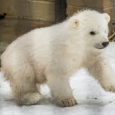 In a statement this week, the U.S. Fish and Wildlife Service announced that Kali, an orphaned polar bear cub, is being flown from the Alaska Zoo to the Buffalo Zoo. Kali, a 65-pound cub, was rescued in March from the Point Lay area of Alaska...