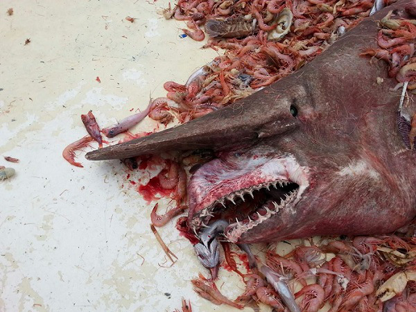 Goblin Shark Images Flood the Internet after Creature was Caught Last Month